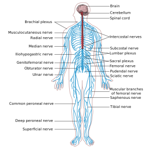 Nervous_system_diagram-en.svg