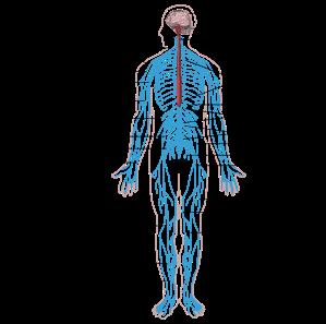Nervous_system_diagram-en.svg