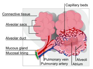 2000px-Alveolus_diagram.svg